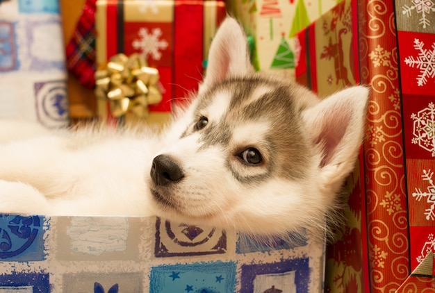 Siberian husky welpe in einer weihnachtsbox - das beste geschenk für den urlaub