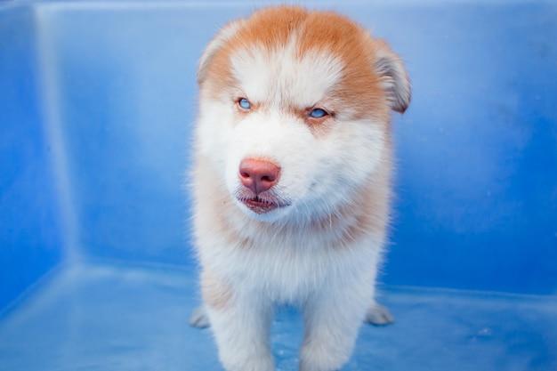 Siberian schlittenhund des netten welpen.