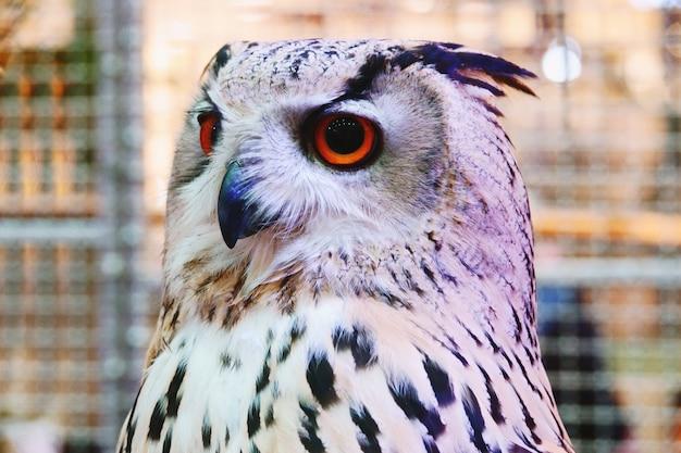 Sibirier eagle owl show am einkaufszentrum thailand