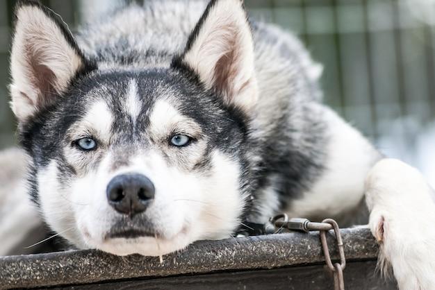 Sibirische huskies norwegen hunde
