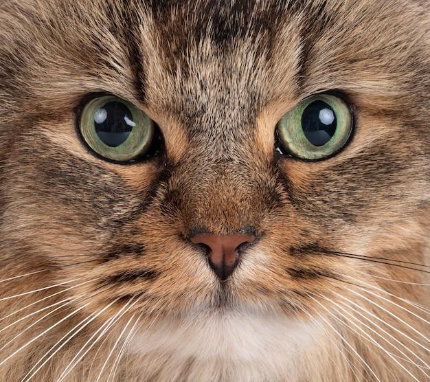 Sibirische katzengesichtsnahaufnahme