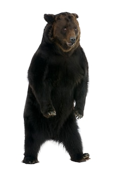 Sibirischer braunbär