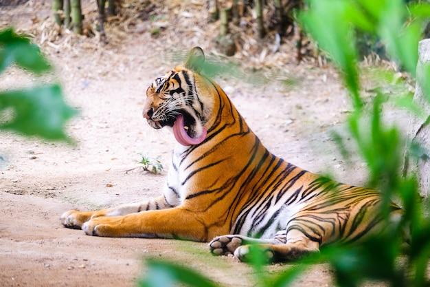 Sibirischer tiger alias der amur-tiger