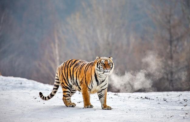 Sibirischer tiger an einem wintertag