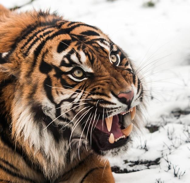 Sibirischer tiger auf schnee