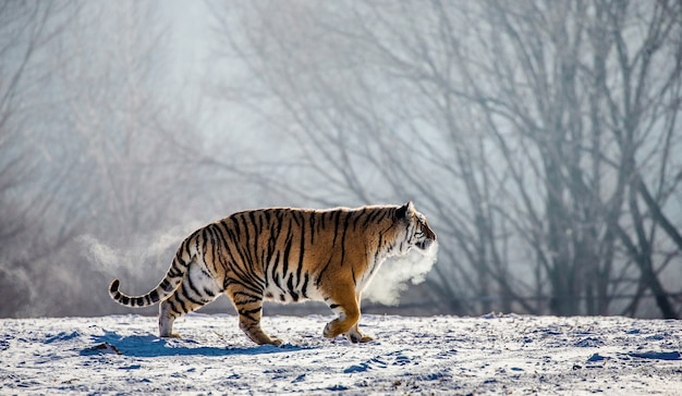 Sibirischer tiger geht in einer schneebedeckten lichtung in einer dampfwolke in einem harten frost. sibirischer tiger park.
