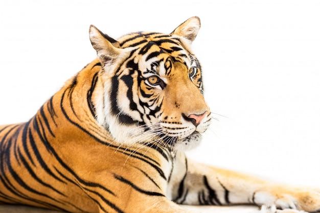 Sibirischer tiger lokalisiert auf weiß