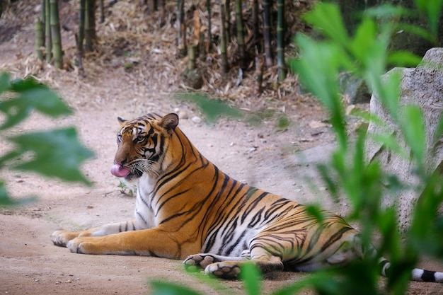 Sibirischer tiger (panthera tigris altaica), alias der amur-tiger.