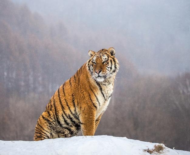 Sibirischer tiger sitzt auf einem schneebedeckten hügel vor dem hintergrund eines winterwaldes. sibirischer tiger park.