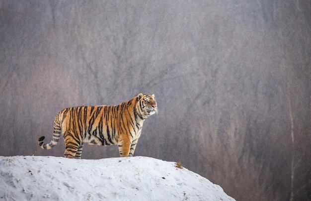 Sibirischer tiger steht auf einem schneebedeckten hügel auf einem hintergrund von winterbäumen. sibirischer tiger park.
