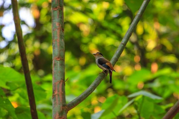 Silber-breasted schöner vogel des broadbill (serilophus lunatus) auf einer niederlassung