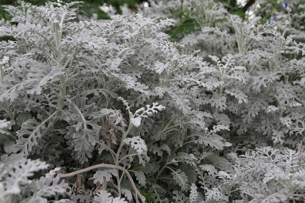 Silber ragwort ist eine graue pflanze