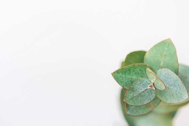 Silberner dollar-eukalyptus-zweig auf weißem hintergrund.