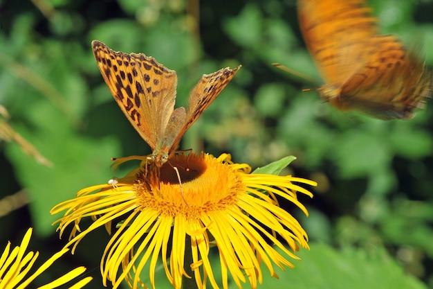 Silberperlenschmetterling (argynnis paphia) auf der gelben blume. makro, geringe schärfentiefe