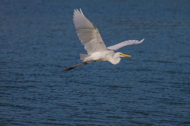 Silberreiher fliegen in der natur
