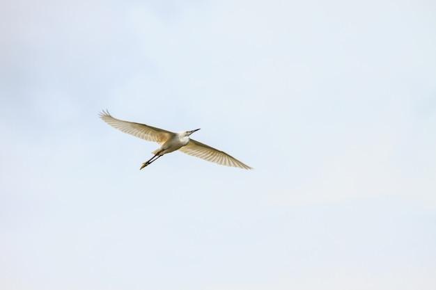 Silberreiher fliegen