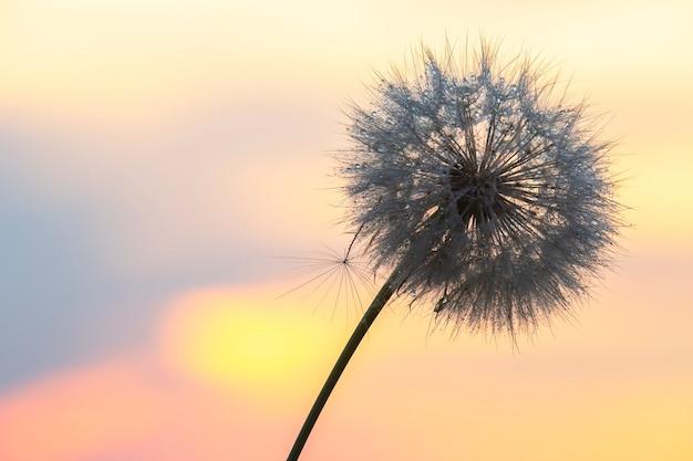 Silhouette einer löwenzahnblume im gegenlicht mit tropfen morgentau. natur und blumenbotanik