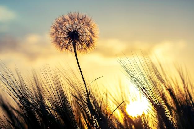 Silhouette eines löwenzahns auf dem hintergrund eines sonnigen sonnenuntergangs auf einem grasfeld. natur und wildblumen.