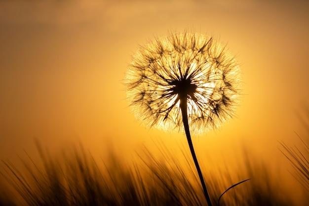 Silhouette eines löwenzahns auf dem hintergrund eines sonnigen sonnenuntergangs in einem grasfeld