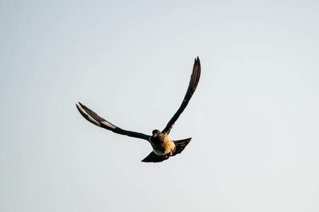 Silhouette fliegender taubenvogel im himmel
