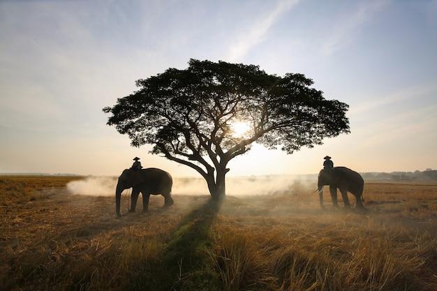 Silhouette von elefant und baum auf dem hintergrund des sonnenuntergangs asien-elefant in surin thailand