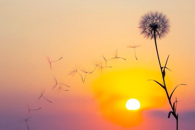 Silhouette von löwenzahnblumensamen, die vor dem hintergrund der abendsonne und des sonnenuntergangshimmels fliegen. blumenbotanik der natur
