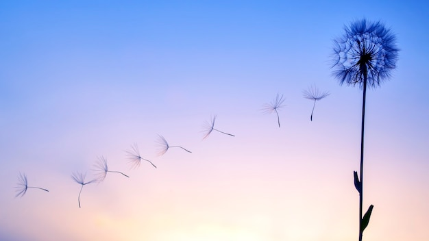 Silhouetten von fliegenden löwenzahnsamen auf dem hintergrund des sonnenuntergangshimmels. natur und botanik der blumen