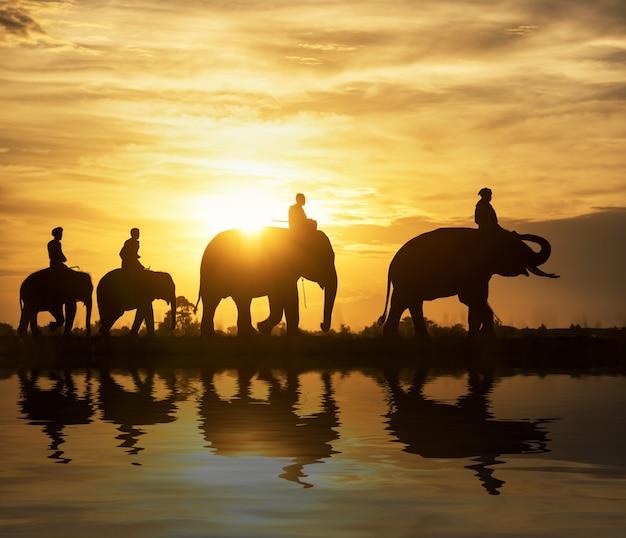 Silhouettieren sie elefanten auf dem hintergrund des sonnenuntergangs, der elefant, der in surin thailand thailändisch ist.