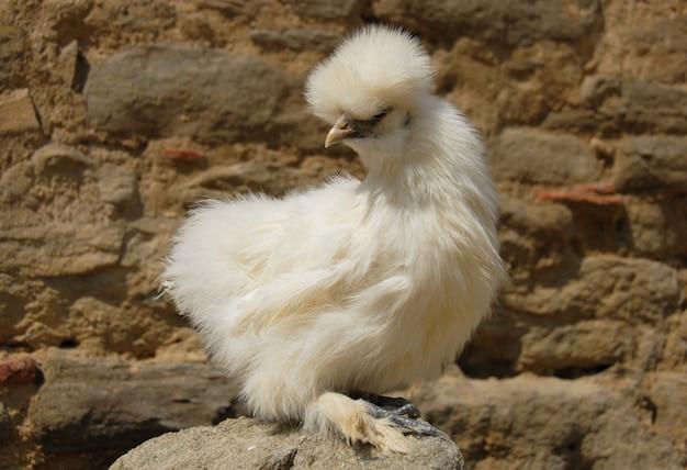 Silkie hühnervogel