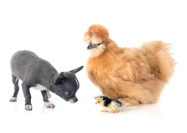 Silkie huhn und chihuahua