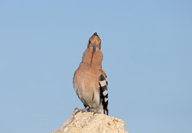 Singender wiedehopf mit offenem kamm sitzt auf einem stein.