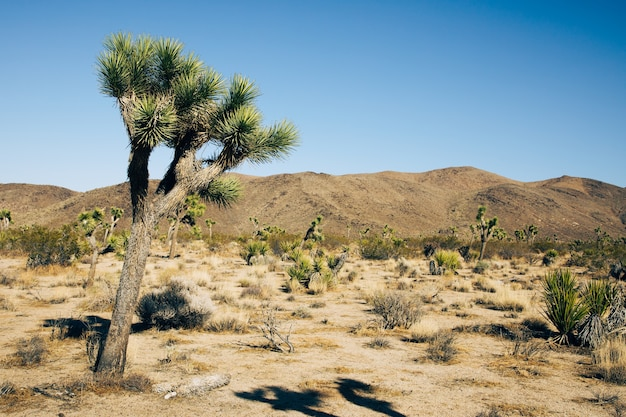Single joshua tree im joshua tree national park, kalifornien