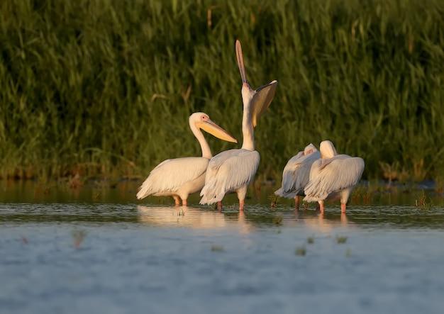 Singles und gruppen von großen weißen pelikanen (pelecanus onocrotalus) werden im blauen wasser vor dem hintergrund einer grünen wasservegetation in weichem abendlicht fotografiert.