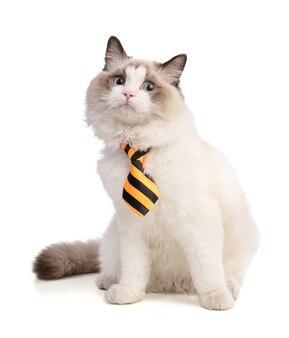 Sitzende junge ragdollkatze mit gestreifter krawatte auf weißer oberfläche