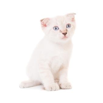 Sitzende reinrassige kleine katze, kätzchen lokalisiert auf weißem hintergrund. studioaufnahme