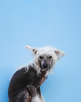Sitzender chinese crested-hund mit dem weißen langen haar und kopienraum