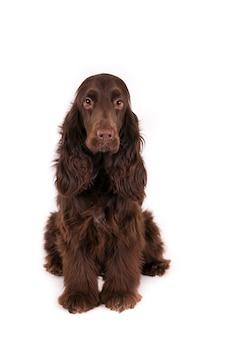 Sitzender feldspanielhund, der kamera gegen eine weiße wand betrachtet
