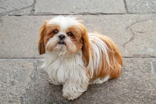Sitzender shih tzu hund mit den weißen und braunen haaren