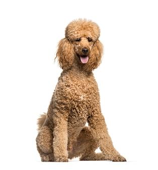 Sitzender und keuchender brauner pudelhund, isoliert