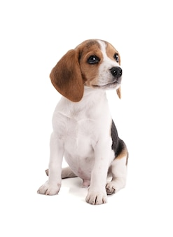 Sitzender welpen beagle