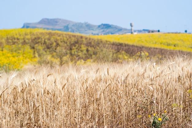 Sizilianische landschaft mit den kornähren
