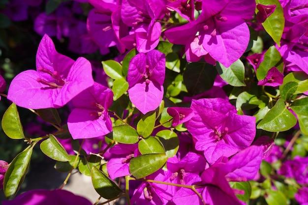 Sizilien rosa blüten. rosa blumen von oleander am sommertag in sizilien