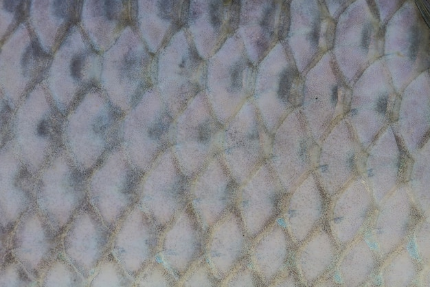 Skalen von süßwasserfischen