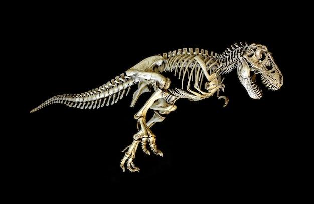 Skelett dinosaurier tyrannosaurus (t-rex)