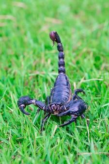 Skorpion auf dem rasen