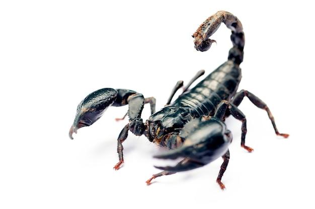 Skorpion auf weißem hintergrund.