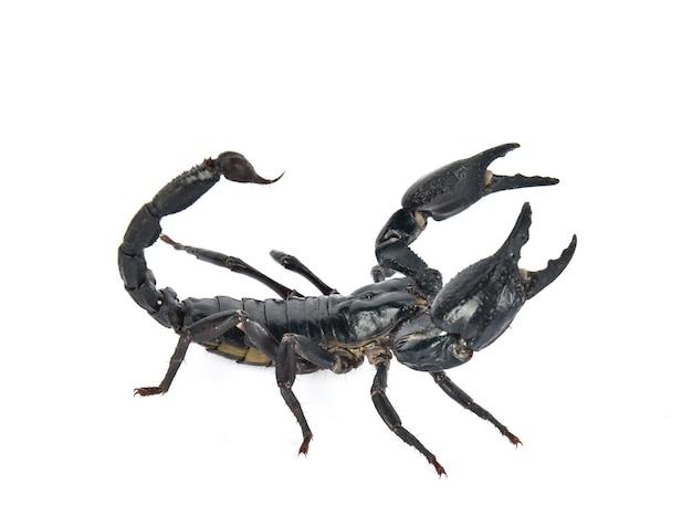 Skorpion auf weißem hintergrund