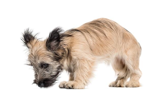 Skye terrier hund schaut nach unten