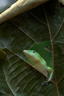 Smaragdgrüner baumskink auf dem blatt