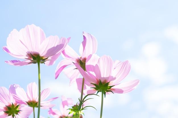 Smmer feld mit rosa frischen kosmosblumen